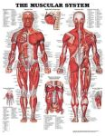 Muscular System Chart 20
